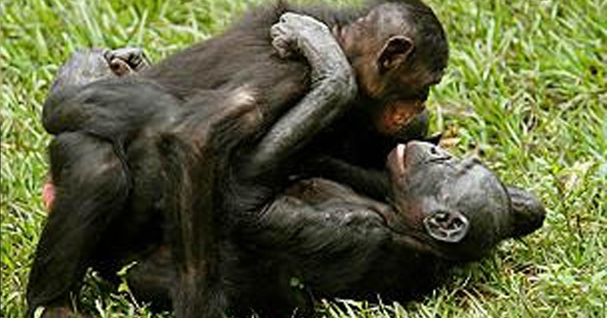 Hembras bonobo practicando sexo por placer